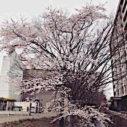 桜さいてました